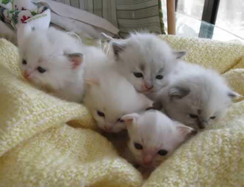 Ragdoll Kittens | Ragdoll Kittens for Sale Houston | Feets of Faith Cattery