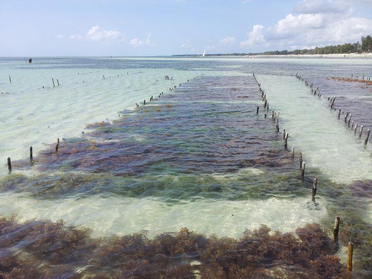 under water seaweed plantation