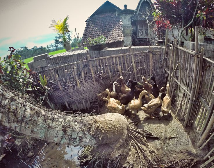 Bali ducks