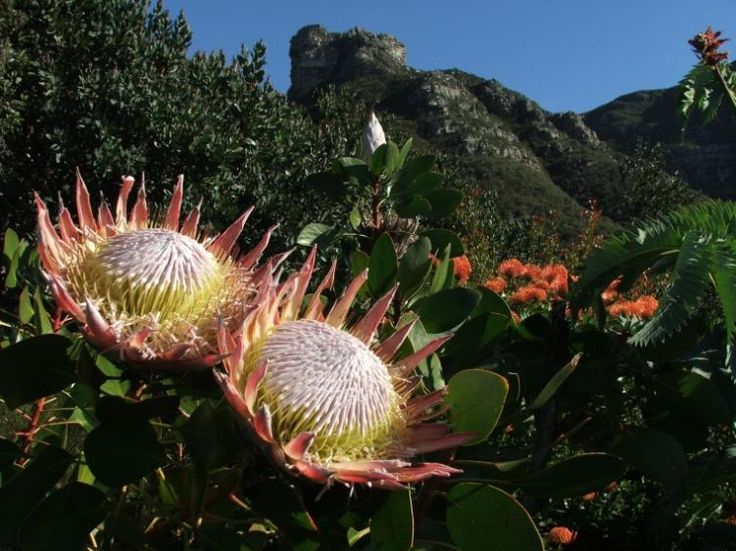 King protea (Protea cynaroides) | Kirstenbosch National Botanical Garden, Cape Town | South Africa