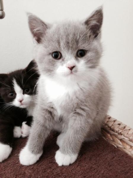 Wunderschöne verschmuste BKH-Kitten m. Papieren