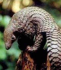 Indian Pangolin or Anteater Source: http://www.ecoindia.com/animals/mammals/indian-pangolin.html