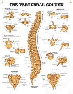Vertebral Column anatomy poster shows location of atlas and axis, cervical, thoracic and lumbar vertebrae, sacrum and coccyx.