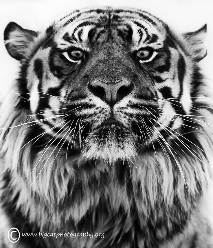 Mean, moody and magnificent!! by bigcatphotos UK, via 500px