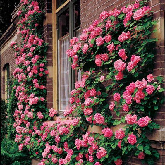 Zephirine Drouhin Climbing Rose (Zephirine Drouhin)
