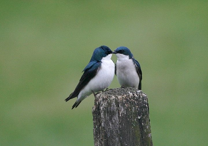 Tree Swallows ~ Bill Hubick Photography