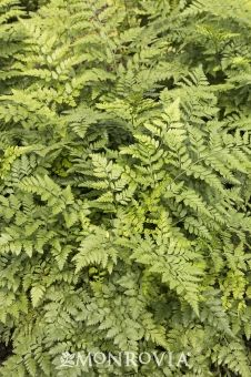 Monrovia's Leatherleaf Fern details and information. Learn more about Monrovia plants and best practices for best possible plant performance.