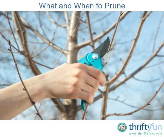 This guide is about pruning times: what and when to prune. Proper pruning is a good way to help your trees and shrubs stay healthy and strong.