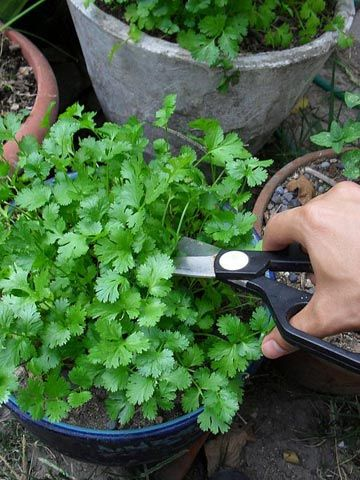 Cilantro Como la albahaca, el cilantro puede crecer raíces si se colocan los tallos en un vaso de agua. Una vez que las raíces estén suficientemente largas, sólo plántalas en una maceta. En un par de semanas comenzarán los brotes y en un par de meses tendrás una planta entera.