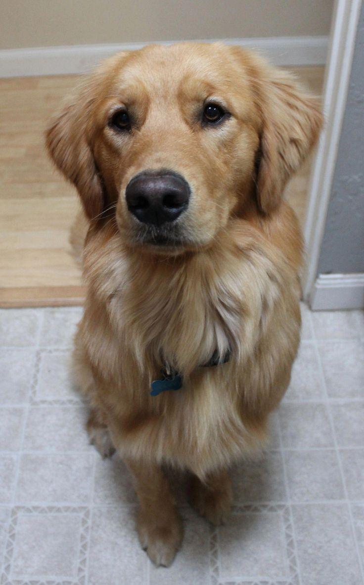 Golden Retriever Puppies Seattle Cost Ideas