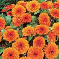 """Zoekresultaat """"5220"""" - zaden bestellen online bij Het Vlaams Zaadhuis - online bloemenzaden, groentenzaden, kruidenzaden, planten kopen"""