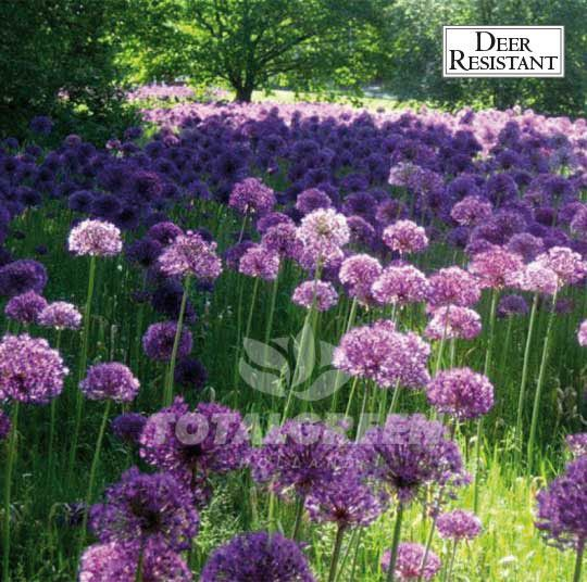 Allium Purple Sensation includes Persian-blue spheres. These spheres do all consist of hundreds of star-like florets and create a beautiful effect. Also great for perennial borders and naturalizing, t