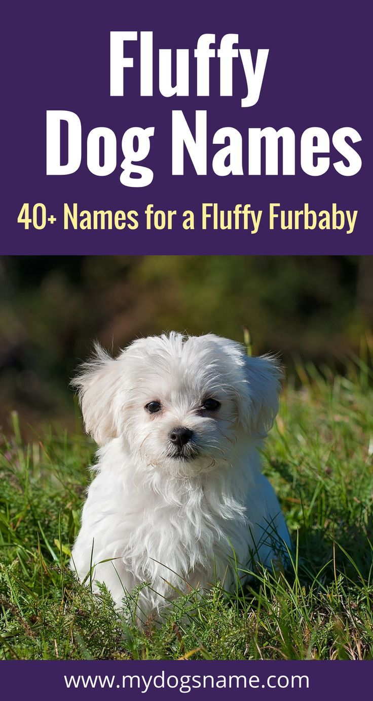Warning: these fluffy dog names are freakin' adorable! They're perfect  for fluffy dog breeds like the Pomeranian, Samoyed, Chow Chow, Bichon Frise and Poodle.