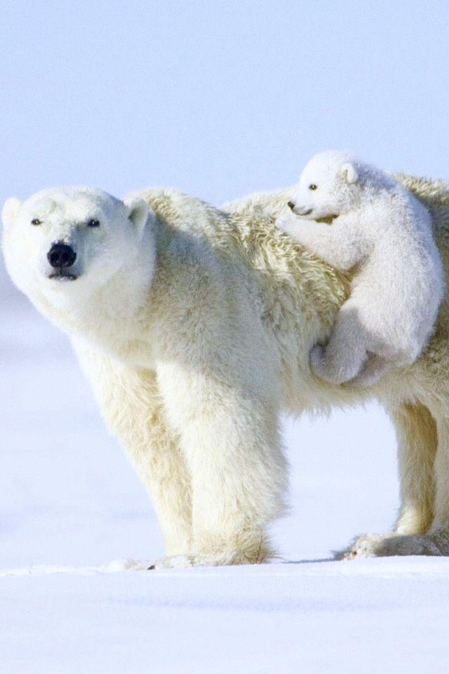 Polar Bear 42 D 25 17 Best images ...