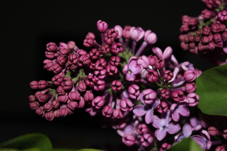 Сиреневый, Фиолетовый, Цветок, Весна, Фиолетовые Цветы