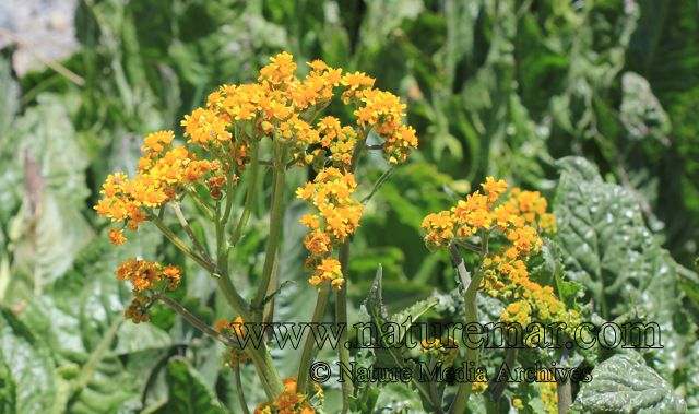 Senecio fistulosus | Media Archives | NATUREMAR: Nature Media Archives