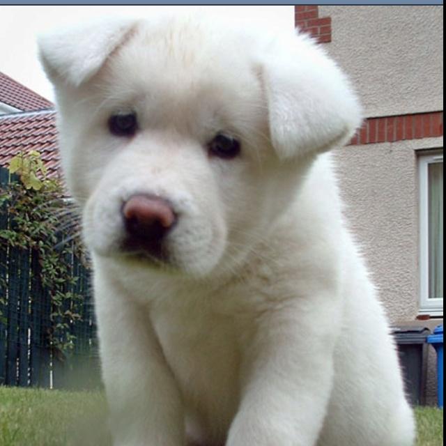 Fantastic Akita Chubby Adorable Dog - 2521bdb75c8c4b4405b613bcd6e44231--akita-dog-akita-puppies  HD_423119  .jpg