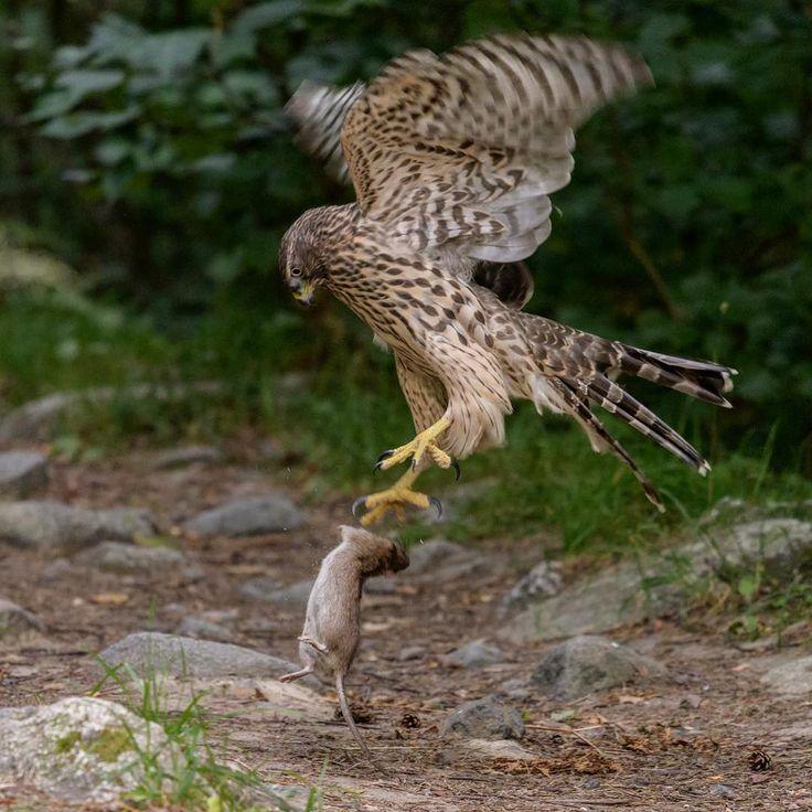 Ung duvhök övar jakt. duvhök. #birdsofinstagram #birdstagram #igbirds #raptors #onlyraptors #goshawk #accipiter #accipitergentilis #duvhök #northerngoshawk #only_raptors #nikon #d500 #nikond500 #nikon300mmf4pfedvr #wildlife #wildbirds #wildlifephotography #nikonwildlife #fåglar #svenskafåglar #stockholm #hunt #rat #råtta #brunråtta http://misstagram.com/ipost/1572314989925004722/?code=BXR_CchgHWy