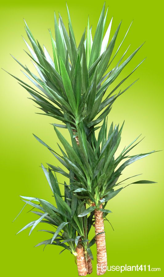 Yucca Plants, are easy care houseplants that need bright light and very little water.