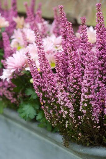 Erica gracilis - Chrysantymum