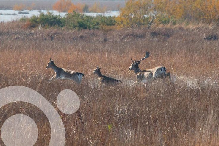 #Birding_in_Spain : Fallow deer runing through the marsh. More information to plan your trip to #Doñana in www.qnatur.com