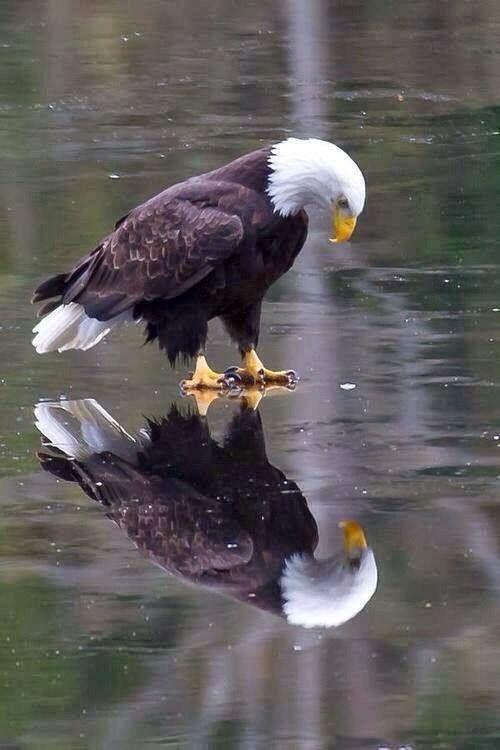 Bald Eagle on Ice!