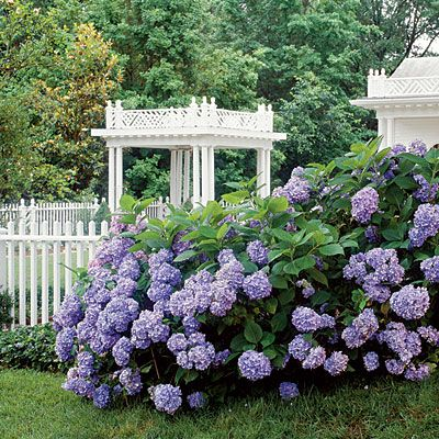 Plant them on the street side of the fence for all the neighbors to see.: Gardens Ideas, Growing Hydrangeas, Blue Hydrangeas, Endless Summer, Picket Fence, Growing Flowers, White Fence, Hydrangeas Bush, Houses Design