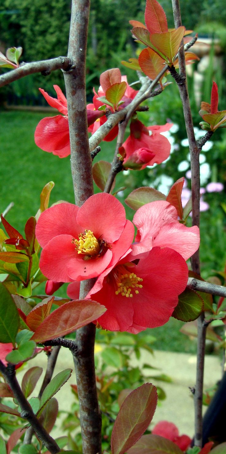 149 best beautiful gardens images on pinterest beautiful gardens flowering quince chaenomeles lagenaria also known as chaenomeles speciosa or japanese quince biocorpaavc Image collections