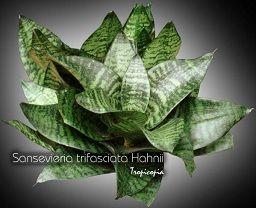 Sansevieria - Sansevieria trifasciata 'Hahnii' - Birdnest sansevieria, Snake plant