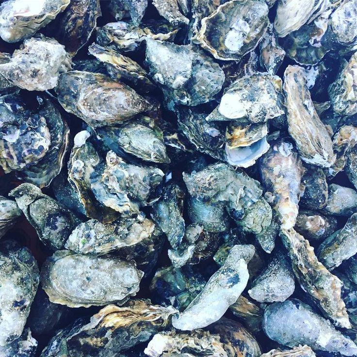¡Ostiones de la bahía de #SanQuintin en #BajaCalifornia! ¡Tesoros que debes de descubrir y probar!  Foto-aventura de Terra Peninsular