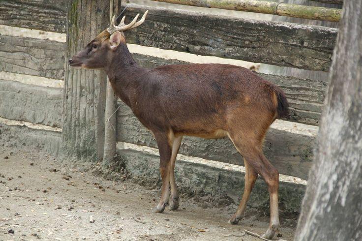 241 best Deer Cervini Tribe images on Pinterest | Elk ...