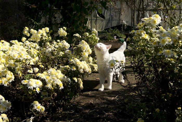 This is a cat that takes time to stop and smell the flowers! Fukumaru the cat