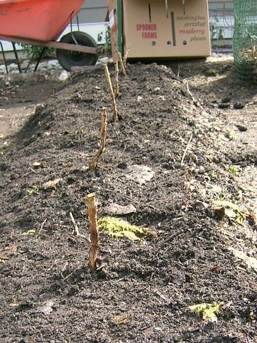 How to Plant Raspberry Canes | One Hundred Dollars a Month