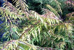 How to Tell Between Regular and Poisonous Sumac Shrubs