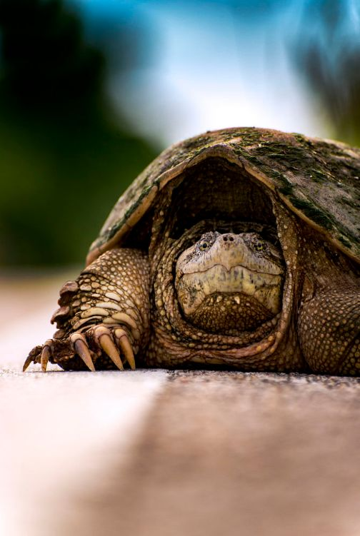 Common Snapping Turtle on Road. Kansas, USA by Christopher Murphy
