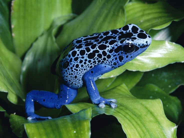 tropical+rainforest+reptiles+and+amphibians | Poisonous Dart Frog