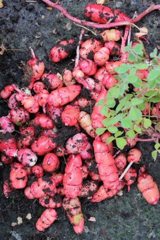 Oca tubers from my organic nursery and web shop, grown at Fuglebjerggaard, great thinly sliced with chili, slat  and lime,