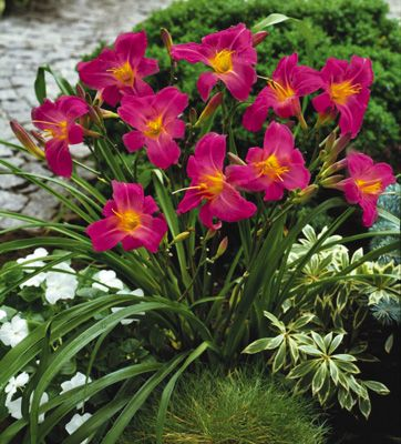 """Razzmatazz Daylily...perennial...full sun to part shade...18"""" tall...blooms summer to fall"""