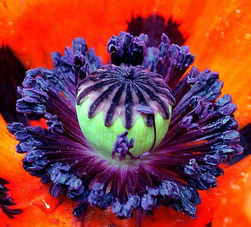 Poppy - Look at the amazing detail of this delicate little flower.....  God's amazing design!