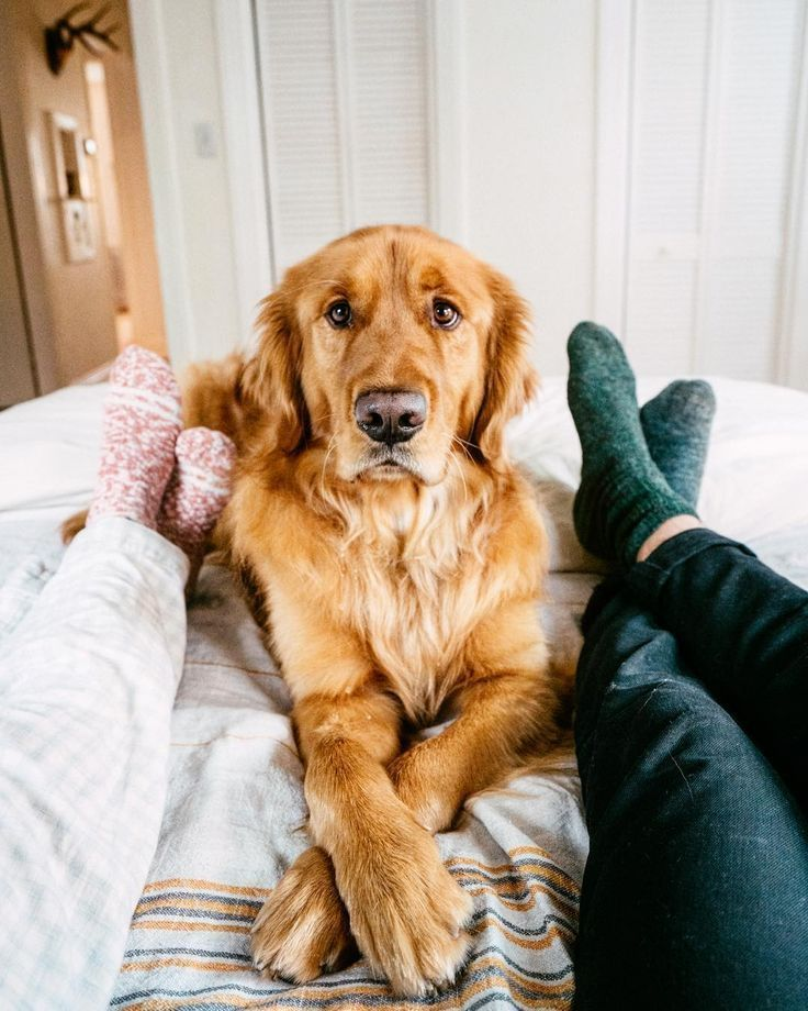 Cute Golden Retriever Puppy Dog Laying In Bed With His Hoomans