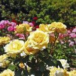 Beautiful yellow spring roses in full bloom