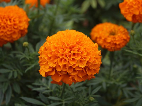 Close-up of marigold flower in park