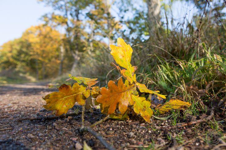 Efterårsfarver i Annebjerg Skov ved Nykøbing Sj. i Odsherred