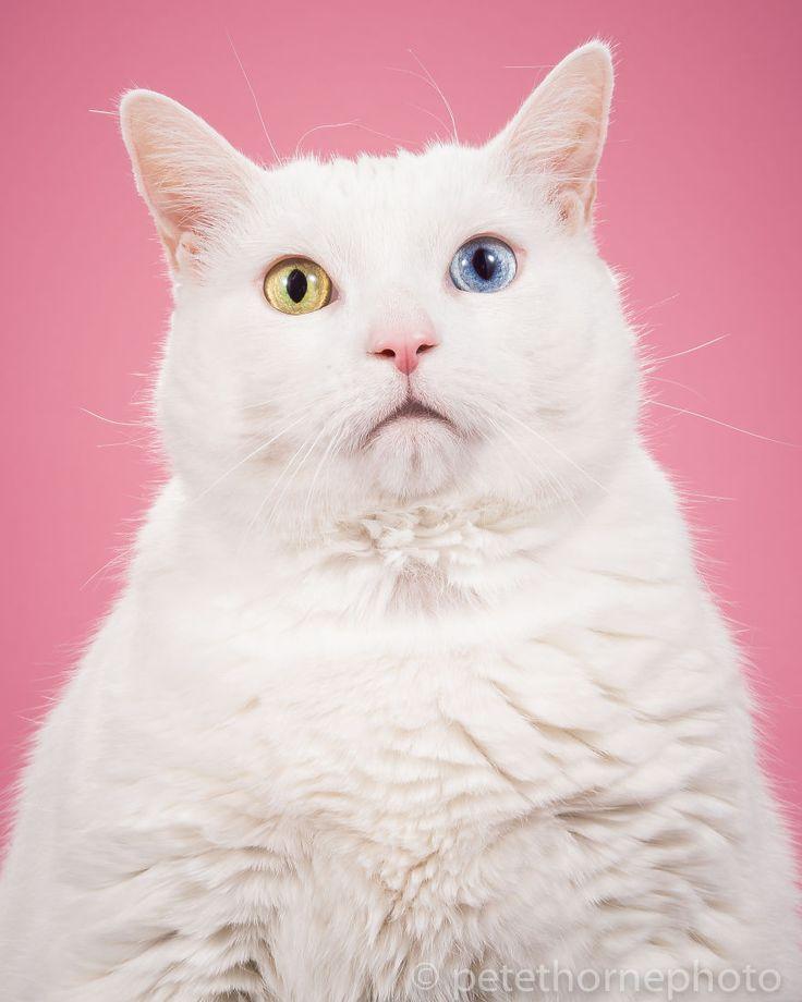 Eu Fotografo Adoráveis Gatos Gordinhos