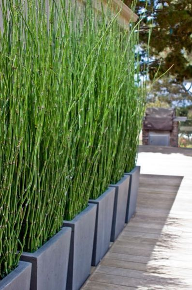 massed planters filled with ..are they bamboo / equisetum? Fabulous idea for a privacy screen