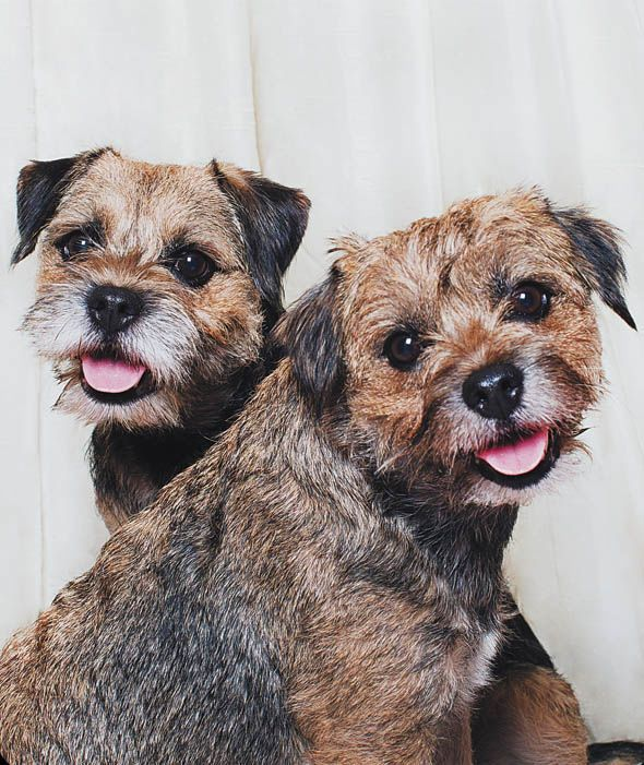 'Crossover selfie' - Border Terrier pair