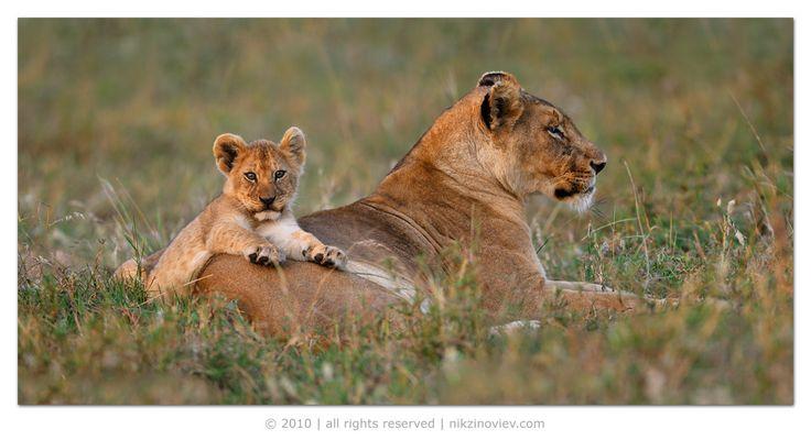 #африка #лев #львенок #дикие #животные #танзания #николай #зиновьев Photographer: Николай Зиновьев