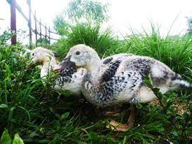 Some ducklings on the farm :) (scheduled via http://www.tailwindapp.com?utm_source=pinterest&utm_medium=twpin&utm_content=post4712004&utm_campaign=scheduler_attribution)