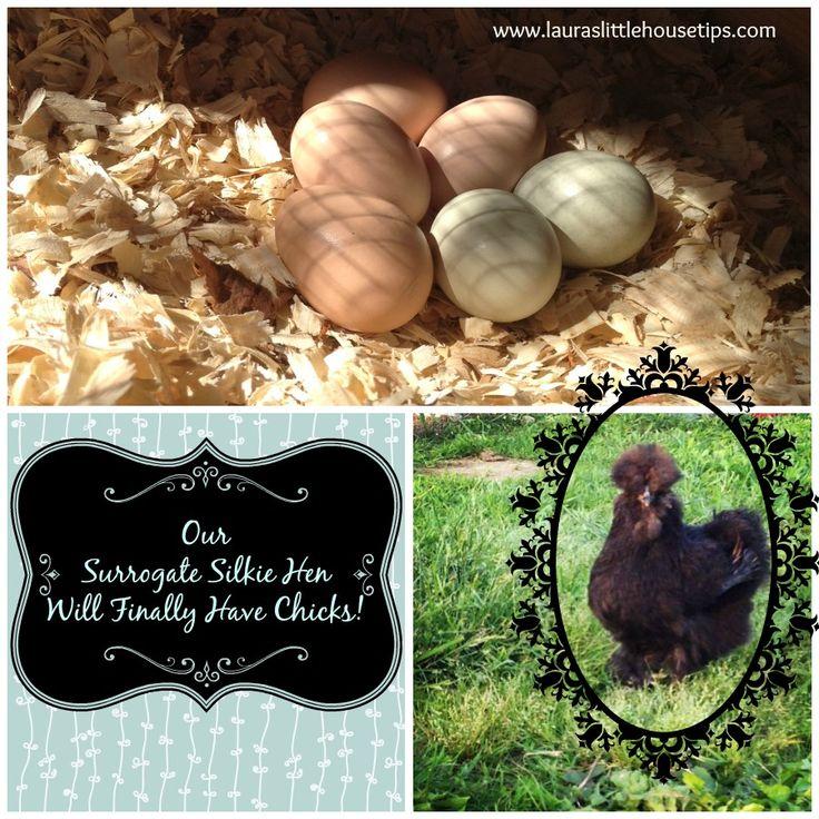 Our Surrogate Silkie Hen Will Finally Have Chicks! www.lauraslittlehousetips.com