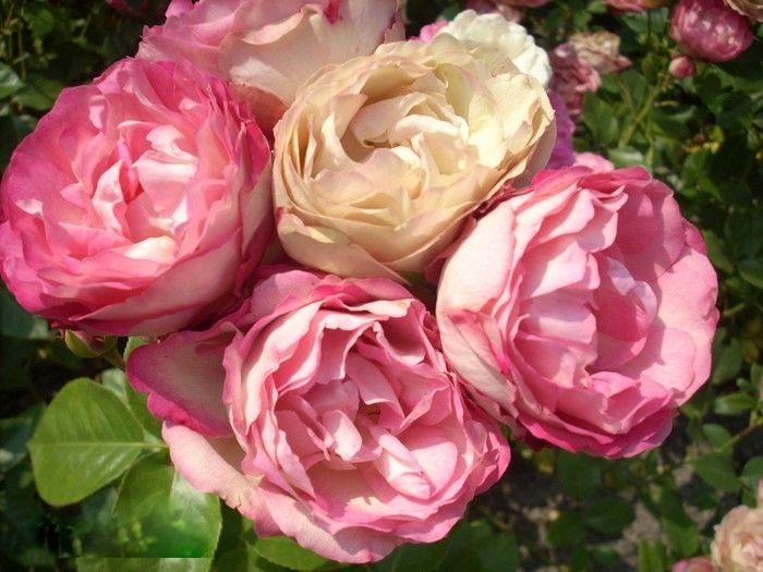 'Acropolis' - Meilland (2002). Trosroos. Halfgevulde bloemen  (9cm) in een aparte kleurenmix van 'gewassen' roze, bruinrood en  roomwit. Snijbloem. Zachtgeurend. Kan last hebben van  sterroetdauw. 70cm x 60cm.